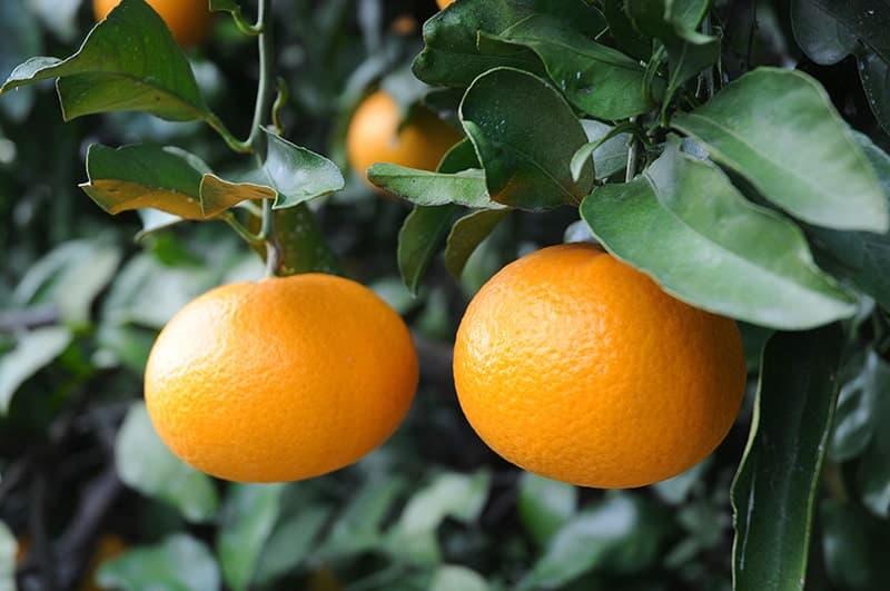 みかん 清美 みかんの木の育て方、肥料や剪定が初心者にも分かる!病気や害虫は?
